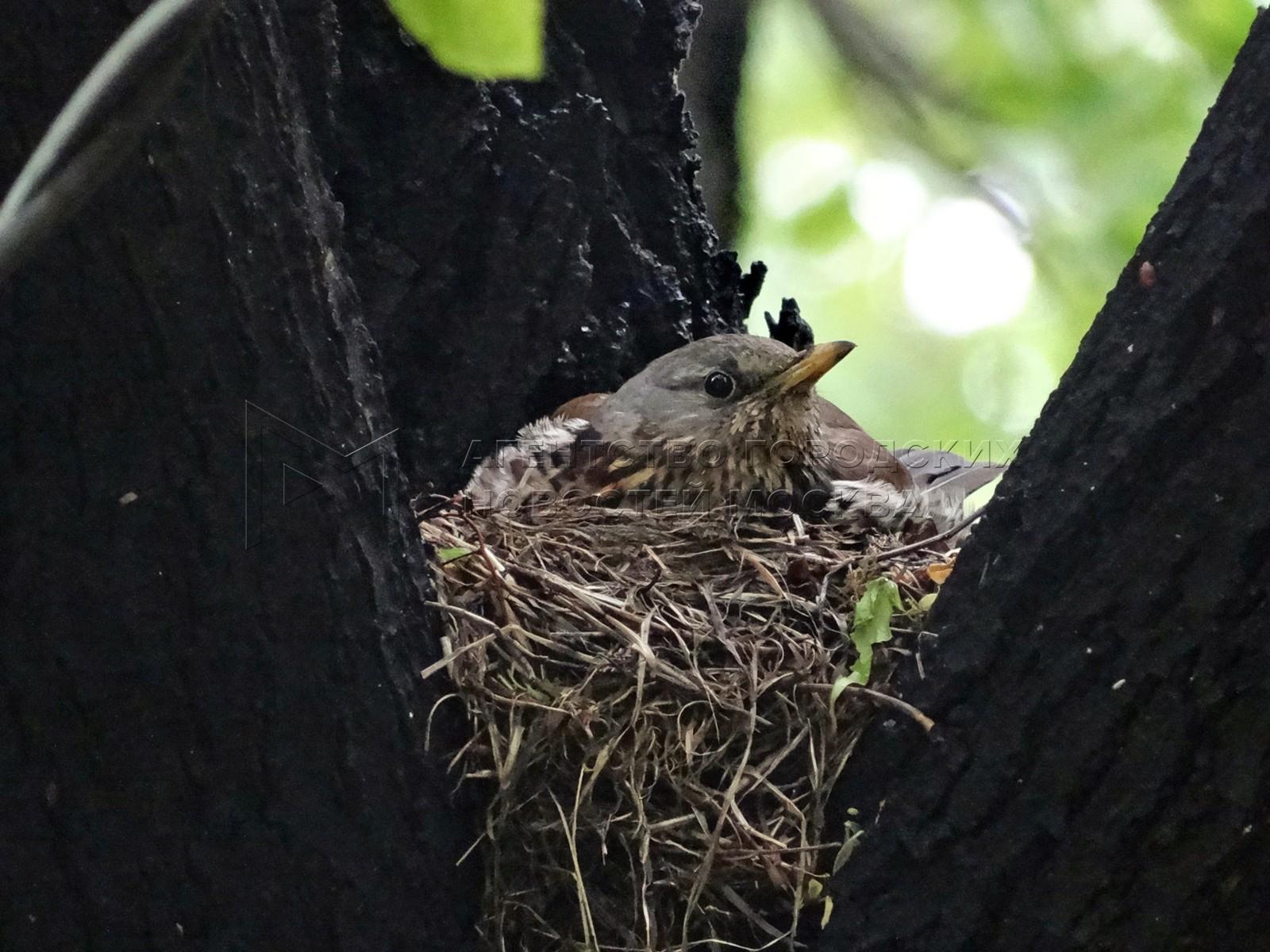 Гнездование дрозда рябинника на территории МГУ