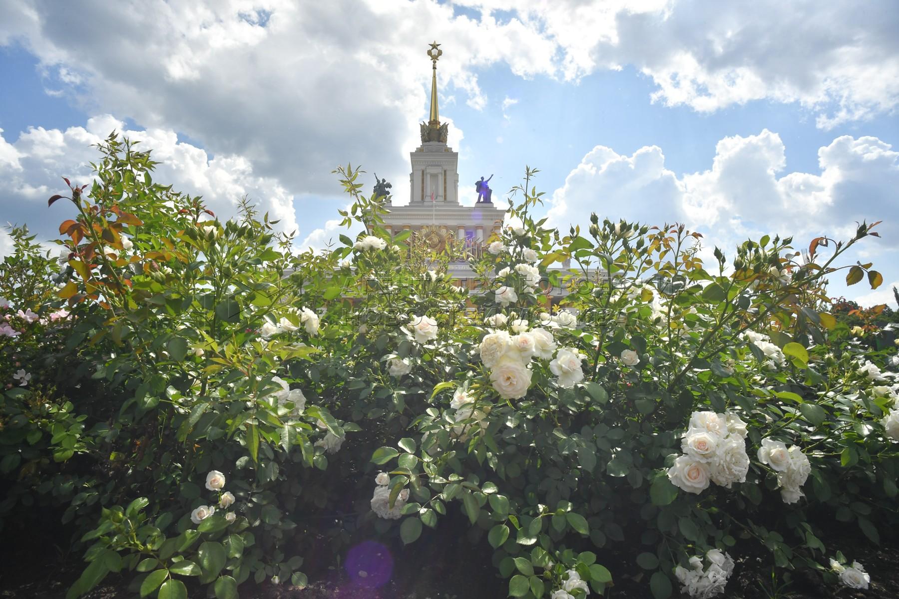 Цветущие розы на территории ВДНХ.