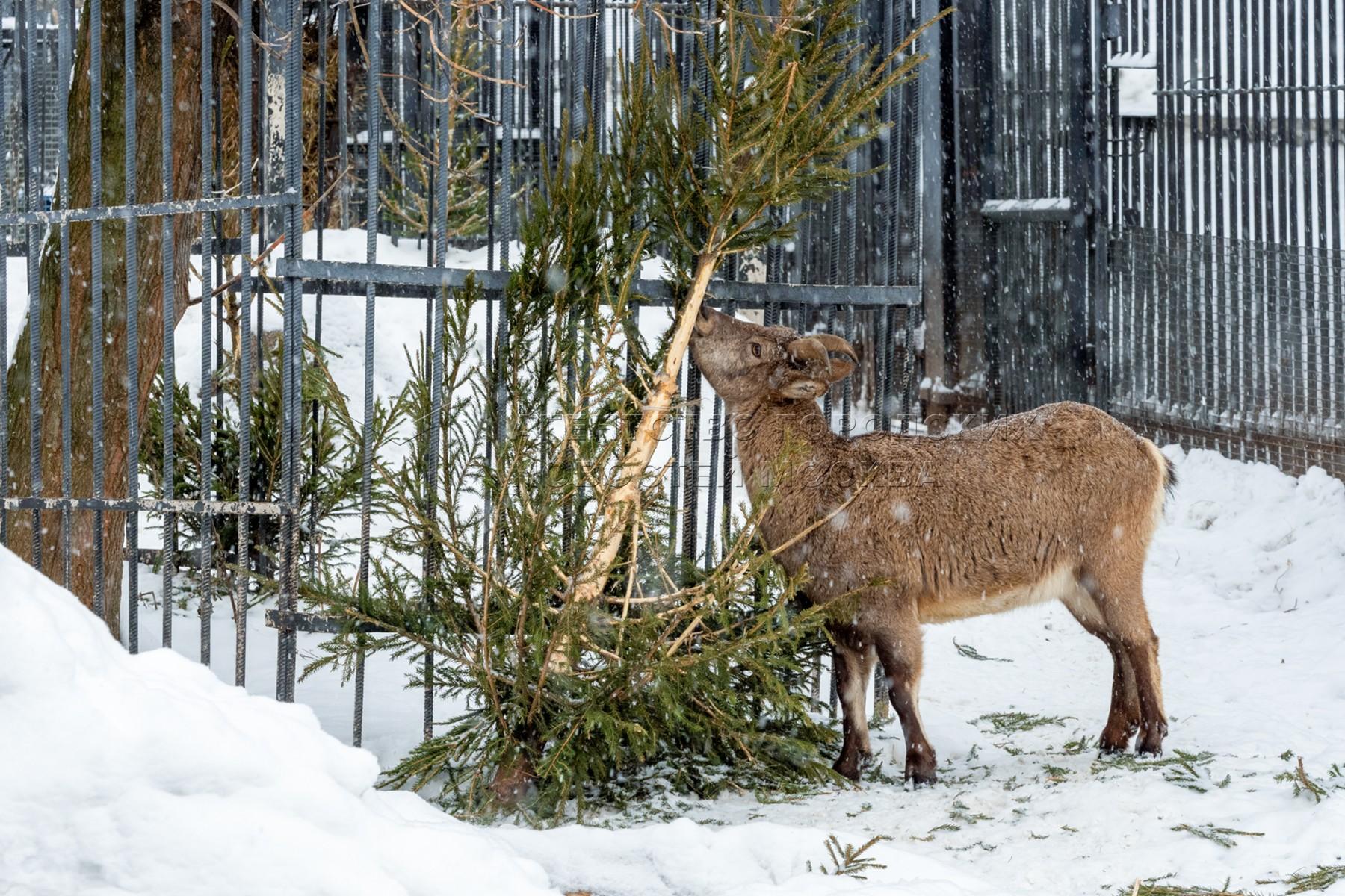 Кормление животных новогодними елками в Московском зоопарке.