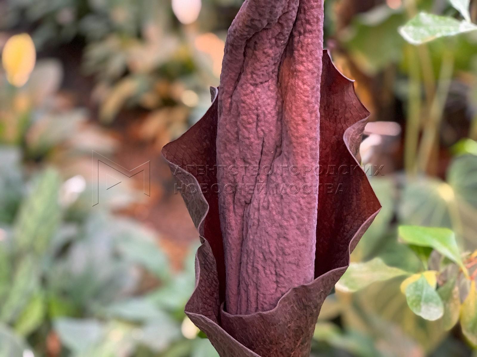Трупный цветок сзапахом разлагающейся плоти расцвел в«Аптекарском огороде».